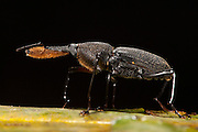 Bearded Weevil (Rhinostromus barbirostris)<br /> Yasuni National Park, Amazon Rainforest<br /> ECUADOR. South America<br /> HABITAT & RANGE: Moist forests of Central & South America