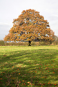Orange brown autumn leaves on common lime or linden tree in field, Sutton, Suffolk, England