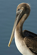 Brown Pelican At The Bolsa Chica Wetlands In Huntington Beach