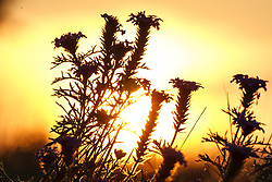Dakota Vervain silhouette at sunset, Texas Hill Country (between Blanco and Fredericksburg), Texas, USA..