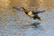 A female ring-necked duck (Aythya collaris) flies low over a pond in Magnuson Park, Seattle, Washington. The ring-necked duck is a strong and fast flier, able to spring up directly from the water, unlike most diving ducks, which have to take a running start.