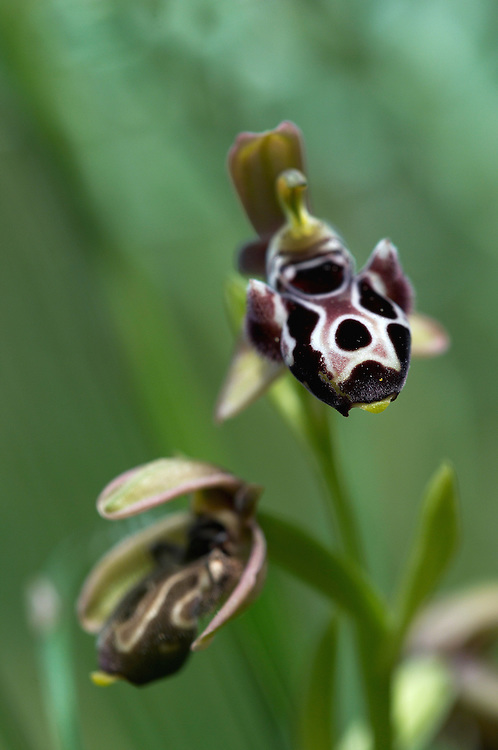 The endemic Cyprus Bee Orchid (Ophrys kotschyi), Hisarköy, Northern Cyprus