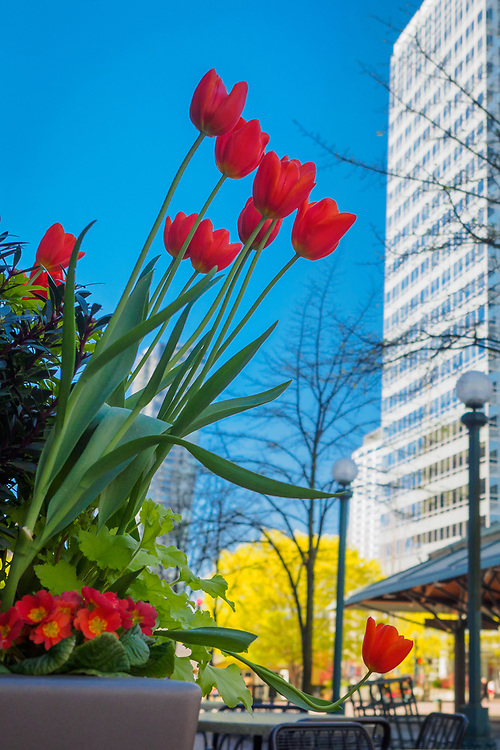 United States, Washington, Bellevue. Tulips in Spring in downtown Bellevue.