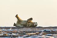 Polar Bear (Ursus maritimus) rolling on a barrier island along Beaufort Sea  in Kaktovik, Alaska. Autumn. Morning.