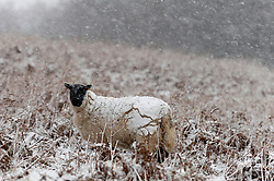 © Licensed to London News Pictures. 09/02/2016. Builth Wells, Powys, Wales, UK. Sheep are seen covered in icy snow on the  Mynydd Epynt range of high moorland. After a long unseasonably warm spell of weather in Mid Wales, temperatures drop in and the high land of the Mynydd Epynt range, near Builth Wells in Powys, Wales, is hit by a blizzard late this afternoon. Photo credit: Graham M. Lawrence/LNP