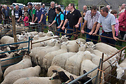 Sheep up for auction at the ancient annual Priddy Sheep Fair in Somerset, England. Buyers bid for the best quality animals while sellers gather to hear the prices their sheep have fetched during the sale in this picturesque village in the Mendip Hills. Unauthorised visitors are forbidden to enter the catle pens, avoiding the spread of epidemics like Foot and Mouth. According to tradition, Priddy Sheep Fair moved from Wells in 1348 because of the Black Death, although evidence has been found of a Fair being held at Priddy before that. There is a local legend, which says that as long as the hurdle stack shelter remains in the village, so will the Fair.