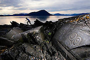 USA, Alaska, A man searches for ancient Tlinget stone carvings on Wrangell Islands' Petroglyph Beach.MR