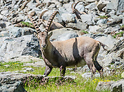 Alpine ibex males carry big horns above Lake Louvie, near Verbier, in the Pennine/Valais Alps, Switzerland, Europe. The Alpine ibex or steinbock (Capra ibex, in the Bovidae family) is a wild goat native to the European Alps. After being eliminated from most of the European Alps by the 1800s, the ibex was successfully reintroduced. Four distinct social groups tend to form: adult male groups (shown here), female-offspring groups, groups of young individuals, and mixed sex groups; but Adult males and females segregate for most of the year, coming together only to mate.