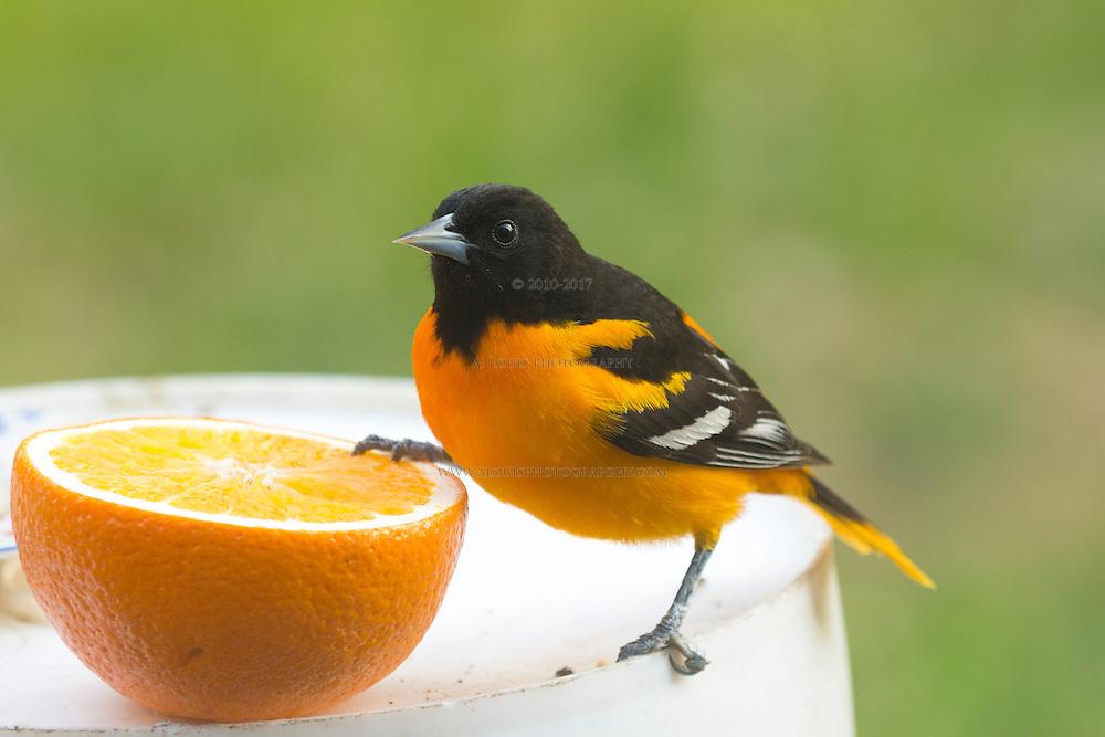 Oriole Striking a Pose on an orange