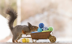 """Delightful squirrels celebrate the upcoming fashion weeks<br /> <br /> To celebrate the up-coming fashion weeks starting in September in London, Paris, Milan and New York, photographer, Geert Weggen has created a delightful fashion photo series with his squirrels.<br /> <br /> In Geert's photos, the squirrels are making their own clothes by spinning their own wool. The squirrels are wild and live in a forest just outside of Geert's house in Sweden. He has created an outdoor photo studio – just 3 metres from his kitchen window - where he leaves food hidden in various props for the squirrels to find. The squirrels come to the studio every day via the trees and Geert has formed a lovely bond with the animals. <br /> <br /> Geert loves the fact that the squirrels look so human like in the photos, especially when they are interacting with the props. It took him 2 months to complete this series and hi9s favourite part is that the series ends with the squirrels selling their clothes at a market.<br /> <br /> """"It is very time consuming to find the props. Every day I am scouring the internet looking for new props or I make the props myself. I work with the squirrels seven days a week, year after year"""" says Geert."""