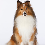 20140924 Daschunds Pugs, Shelties, and Maltese