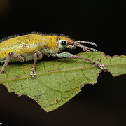 """The Curculionidae are the family of the """"true"""" weevils (or """"snout beetles""""). They are one of the largest animal families, with 6,800 genera and 83,000 species described worldwide."""
