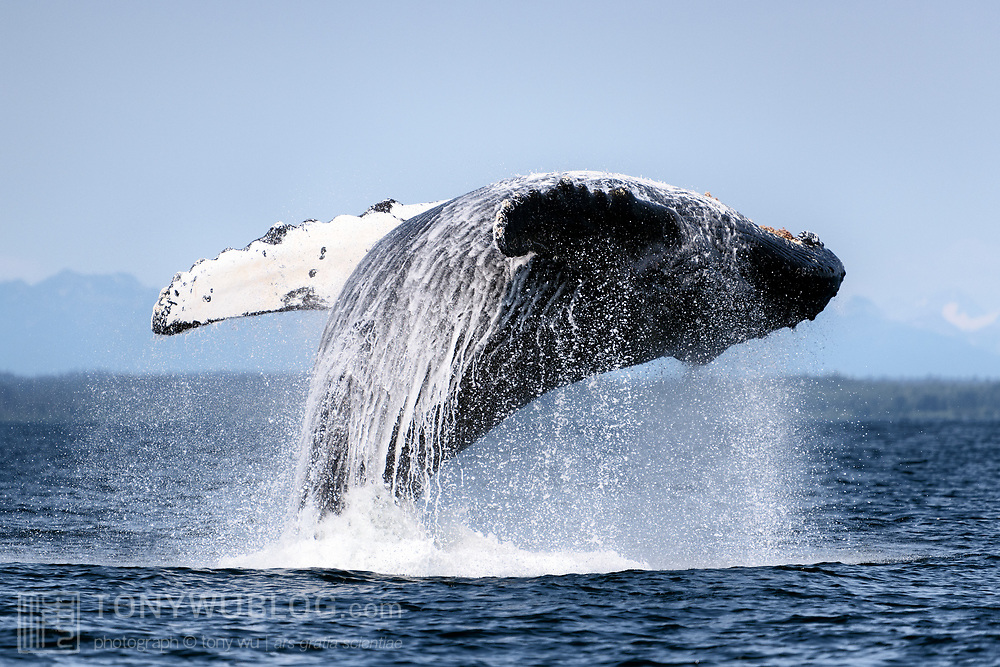 This humpback whale was part of a bubble-net feeding group in Icy Strait, Alaska. This breach was one of a series of breaches and pectoral slaps that occurred in tandem with the end of social foraging, with the whales going separate ways.
