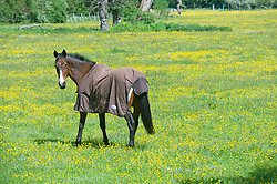 © Licensed to London News Pictures 24/05/2021. Sidcup, UK. Between the rain comes the sun for this horse grazing in a yellow field of Buttercups in Sidcup, South East London. Photo credit:Grant Falvey/LNP