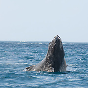 A baby Humback Whale (Megaptera novaeangliae) spy hopping off the shores of the Dominican Repblic.