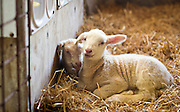 WESTBY, WI — DECEMBER 9: Newborn sheep, born only a few days prior, rest in the hay at the Hidden Springs Creamery barn. The flock of sheep at Hidden Springs has grown from fifty to over 500.