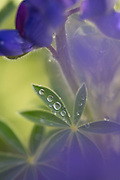 Blue lupin (Lupinus pilosus) in the rain with Water droplets on a leaf