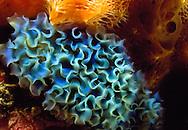 Nudibranch, also known as Ribbon Nudibranch and Lettuce Sea Slug (Tridachia crispata) Shell-less mollusks, Bonaire