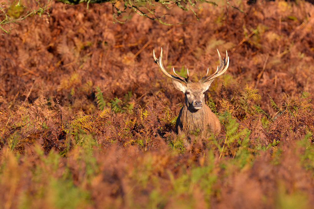 Red Deer Stag - Cervus elaphus