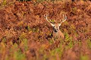 Red Deer Stag - Cervus elaphus