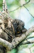 Alaska . Katmai National Park . Porcupine (Erethizon dorsatum) climbing tree .