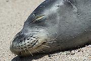 Hawaiian monk seal, Monachus schauinslandi, ( endemic and Critically Endangered species), 8-10 year old female resting on beach, showing mystacial vibrissae, or whiskers, i.e. sensory hairs or bristles, Kukio, Kona Coast, Hawaii ( the Big Island )
