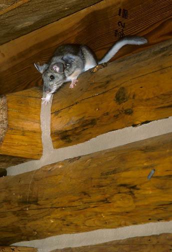 Bushy-tailed Woodrat (Neoloma cinerea) hiding on the log beams of a house in Montana.