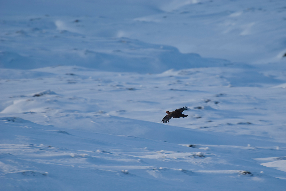 Red grouse (Lagopus lagopus scotica) flying across the moorlands of Derbyshire.