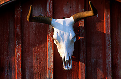 longhorn skull hanging on a red wall