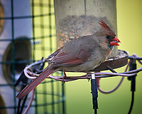 Northern Cardinal. Image taken with a Nikon D5 camera and 600 mm f/4 VR telephoto lens (ISO 1250, 600 mm, f/4, 1/1250 sec).