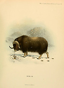 The muskox (Ovibos moschatus) also spelled musk ox and musk-ox is a hoofed mammal of the family Bovidae. Native to the Arctic, it is noted for its thick coat and for the strong odor emitted by males during the seasonal rut, from which its name derives. colour illustration From the book ' Wild oxen, sheep & goats of all lands, living and extinct ' by Richard Lydekker (1849-1915) Published in 1898 by Rowland Ward, London