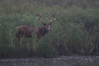 Père David's deer, or Milu, Elaphurus davidianus, stag in morning mist beside the water at Hubei Tian'ezhou Milu National Nature Reserve, Shishou, Hubei, China