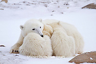 01874-12712 Polar bears (Ursus maritimus)  mother and 2 cubs  in winter, Churchill Wildlife Management Area, Churchill, MB Canada