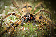 large-jawed spider. Endau-Rompin National Park, Malaysia.