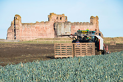 View of farm workers harvesting field of leeks in front of Tantallon Castle in East Lothian, Scotland, United Kingdom