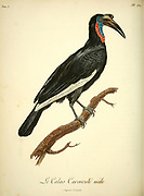 Le Calao caroncule The wattled hornbill from the Book Histoire naturelle des oiseaux d'Afrique [Natural History of birds of Africa] Volume 5, by Le Vaillant, Francois, 1753-1824; Publish in Paris by Chez J.J. Fuchs, libraire 1799