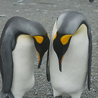 King Penguins stand on a beach at Gold Harbor, South Georgia, Antarctica.