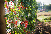 Cherry tomatoes ripen on the vine in the garden.
