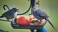 Pair of Gray Catbirds at the bird feeder. Image taken with a Nikon D5 camera and 600 mm f/4 VR lens (ISO 1250, 600 mm, f/5.6, 1/1250 sec)