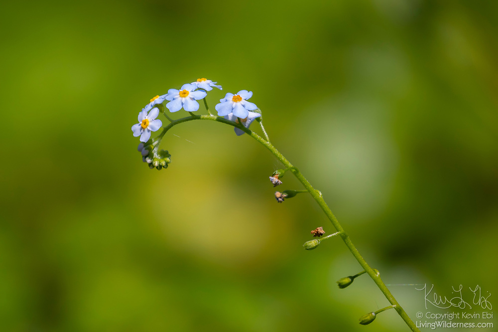 A water forget-me-not (Myosotis scorpioides) begins to blossom in the wetlands of the Washington Park Arboretum, Seattle, Washington.