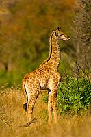 Baby giraffe, Kruger National Park, South Africa