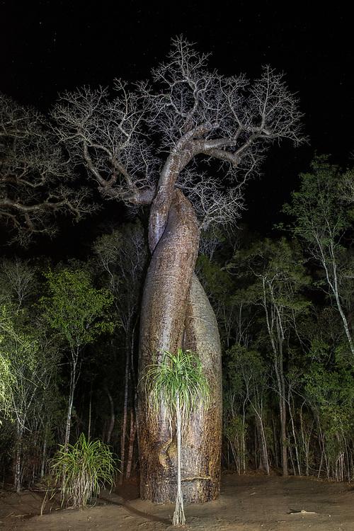 Za Baobab (Adansonia za)<br /> Kirindy<br /> Near Morondava<br /> Southeastern Madagascar<br /> MADAGASCAR
