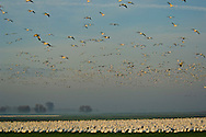 Flocks of Ross's Geese flying and in field in morning during migration, Merced National Wildlife Refuge, Central Valley, California