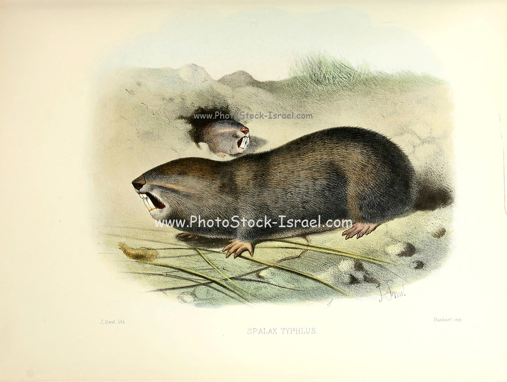 The greater mole-rat (Spalax microphthalmus [here as Spalax typhlus]) is a species of rodent in the family Spalacidae.[2] ItFrom the survey of western Palestine. The fauna and flora of Palestine by Tristram, H. B. (Henry Baker), 1822-1906 Published by The Committee of the Palestine Exploration Fund, London, 1884
