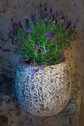 Stone vase with lavender in Saint-Paul-de-Vence in southern France