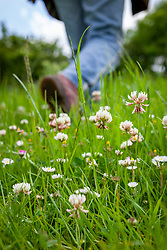 Person walking through a field of Trifolium repens - White clover, Common clover, Creeping clover, Shamrock, Lamb's suckling, Honey stalks