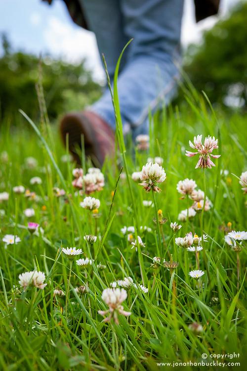 Person walking through a field of Trifolium repens - White clover, Common clover, Creeping clover, Shamrock, Lamb's suckling, Honey stalks