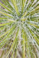 Yucca plants (Yucca utahensis) Grand Staircase Escalante National Monument Utah