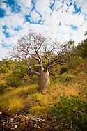 Boab tree at Raft Point, Kimberley Coast, Australia