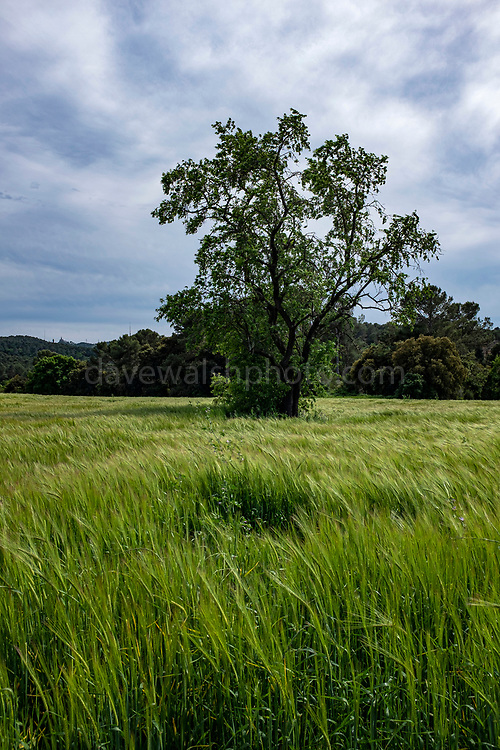 Unripe, green wheat growing in a field, Catalonia